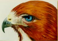 Blue eyed hawk oil painting Richard Montross