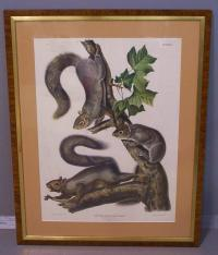 Migratory Gray Squirrel New York J.J. Audubon c1884