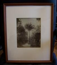 Francesco Rocchini photograph of a palm tree at the Place of Necessidades c1880