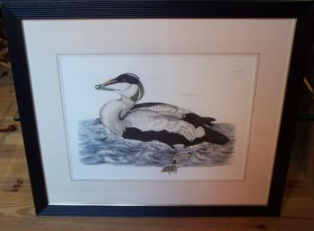 Image of Eider male duck hand colored copper etching Prideau John Selby
